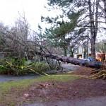 A tree falls 1