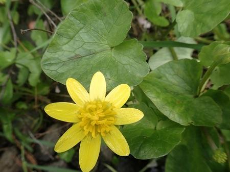 A Lesser Celandine bloom